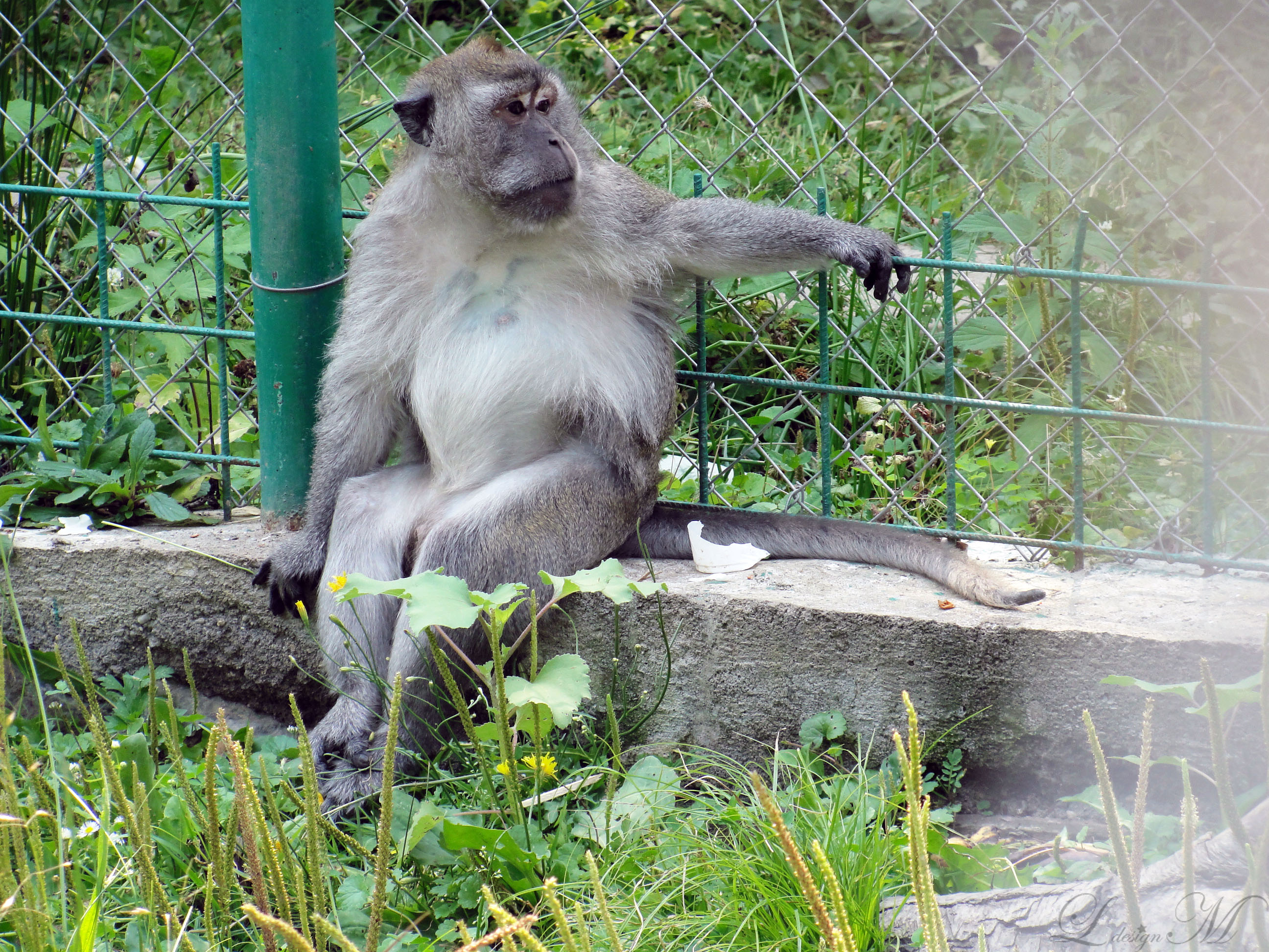 gradina-zoologica-zoo-Sibiu-Romania-in-imagini-poze-mainuta-monkey