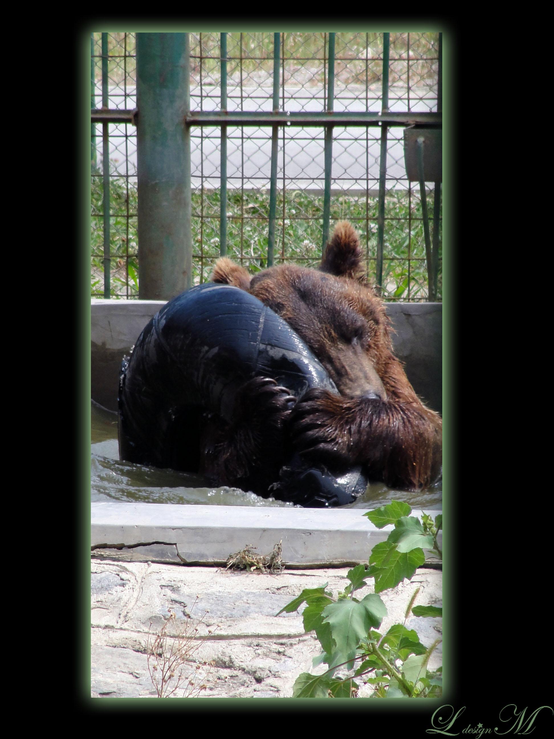 gradina-zoologica-zoo-Sibi-Romania-in-imagini-wild-animal-urs-jucaus-joaca-apa-baie-distractie
