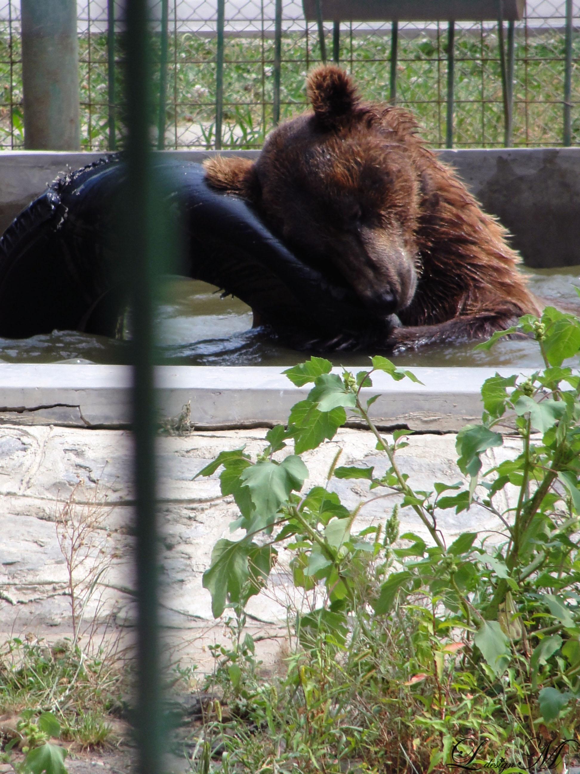 gradina-zoologica-zoo-Sibi-Romania-in-imagini-poze-baie-apa-urs-bear-joaca