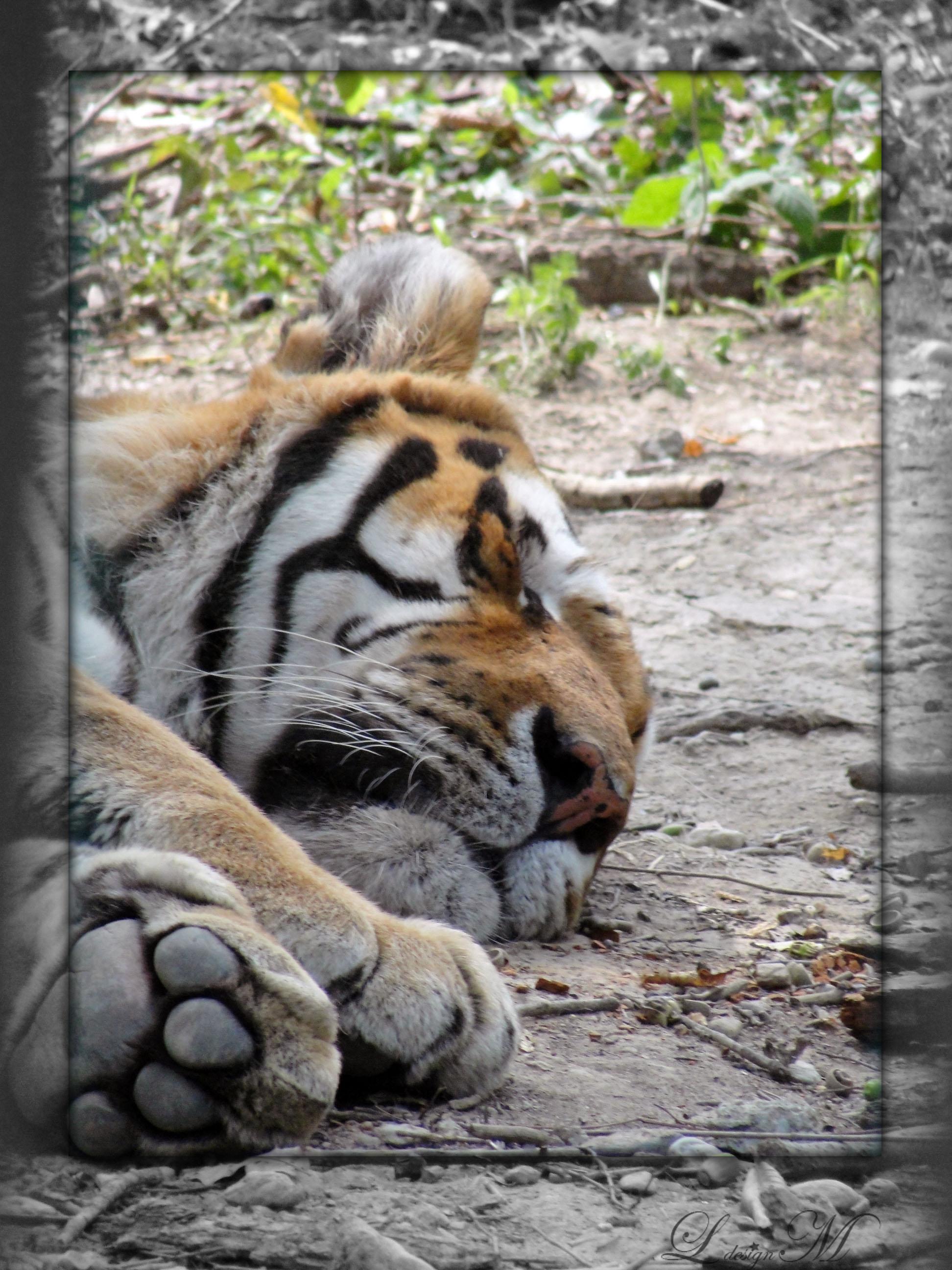 gradina-zoologica-zoo-Sibiu-Romania-in-imagini-poze-leu-lion-tigru-animal-wild-salbatic-i-want-o-sleep-vreau-sa-dorm-somn