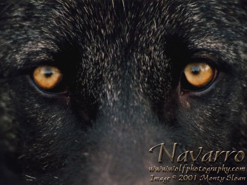 Wolf eyes in dark - photo#17