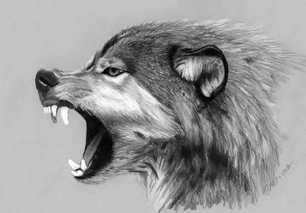 wolf drawing by jasminasusak