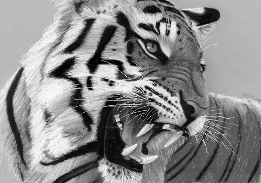 Pencil drawing roaring tiger by jasminasusak