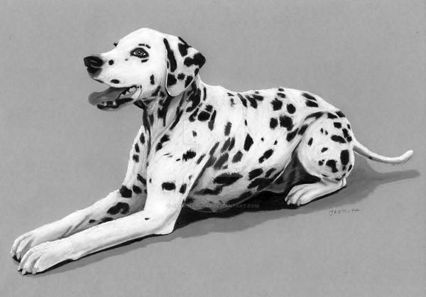 Pencil Drawing: Dalmatian Dog by JasminaSusak