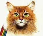 Colored Pencil Drawing: Somali Ginger Cat