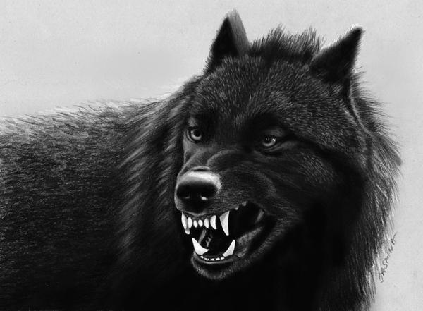 Pencil Drawing Black Wolf By JasminaSusak On DeviantArt