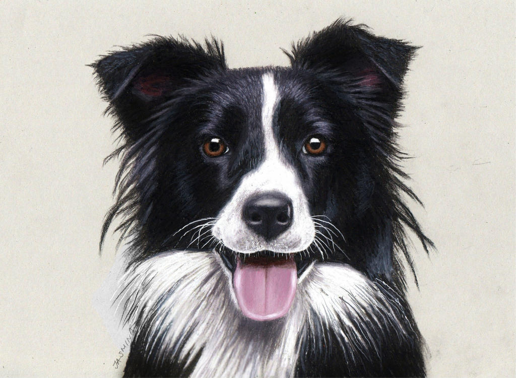 pencil drawing of a border collie by jasminasusak