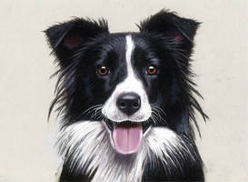 Pencil Drawing of a Border Collie
