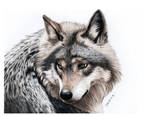 Pencil Drawing of a grey Wolf