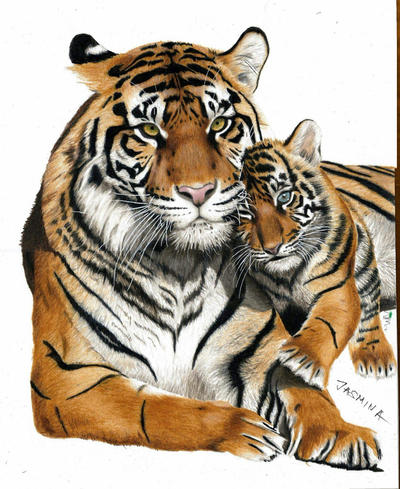 Work in progress: Colored pencil drawing of tigers