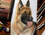 Colored Pencil Drawing of German Shepherd Dog