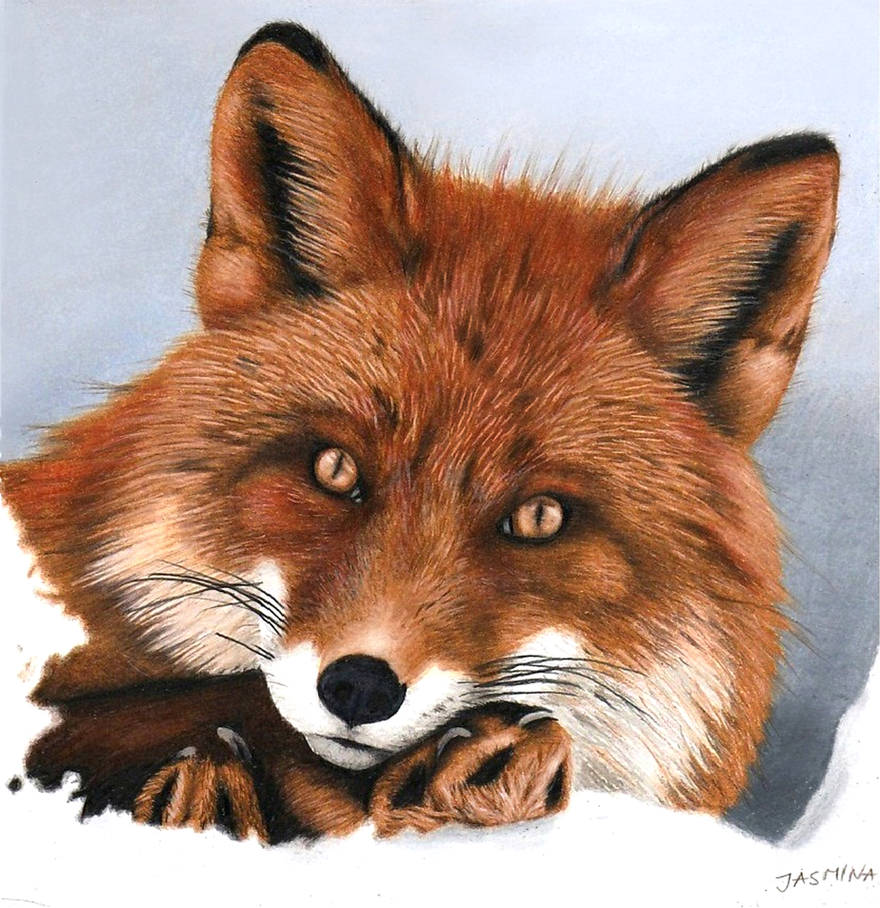 Red Fox - Colored Pencil Drawing