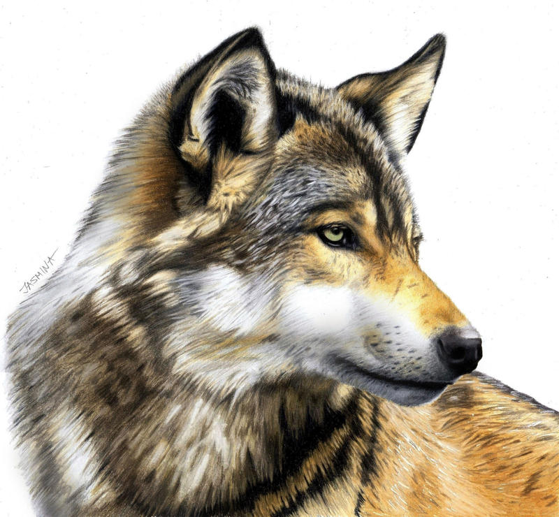 Colored Pencil Drawing of a Wolf