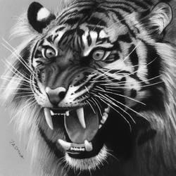 Drawing of a Roaring Tiger by JasminaSusak
