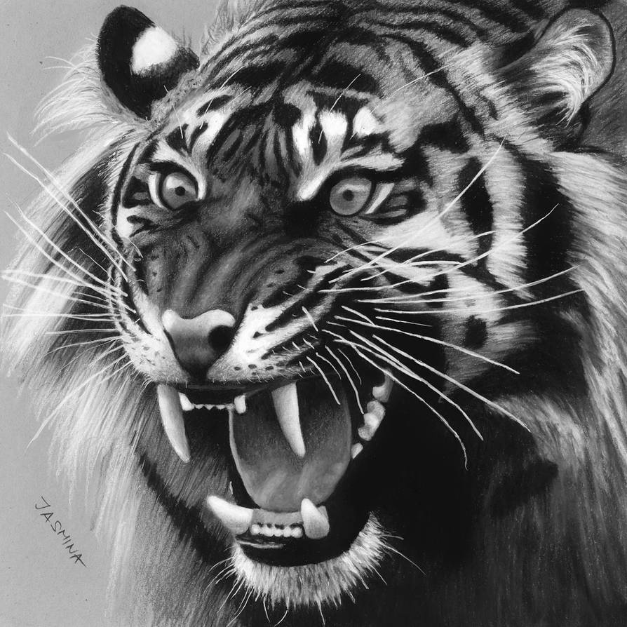 Drawing of a Roaring Tiger