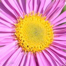 My flower Aster alpinus Happy End