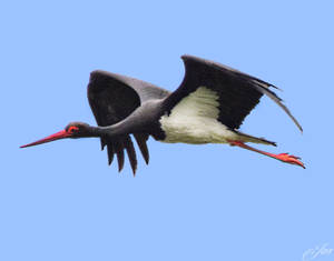 A Black Stork