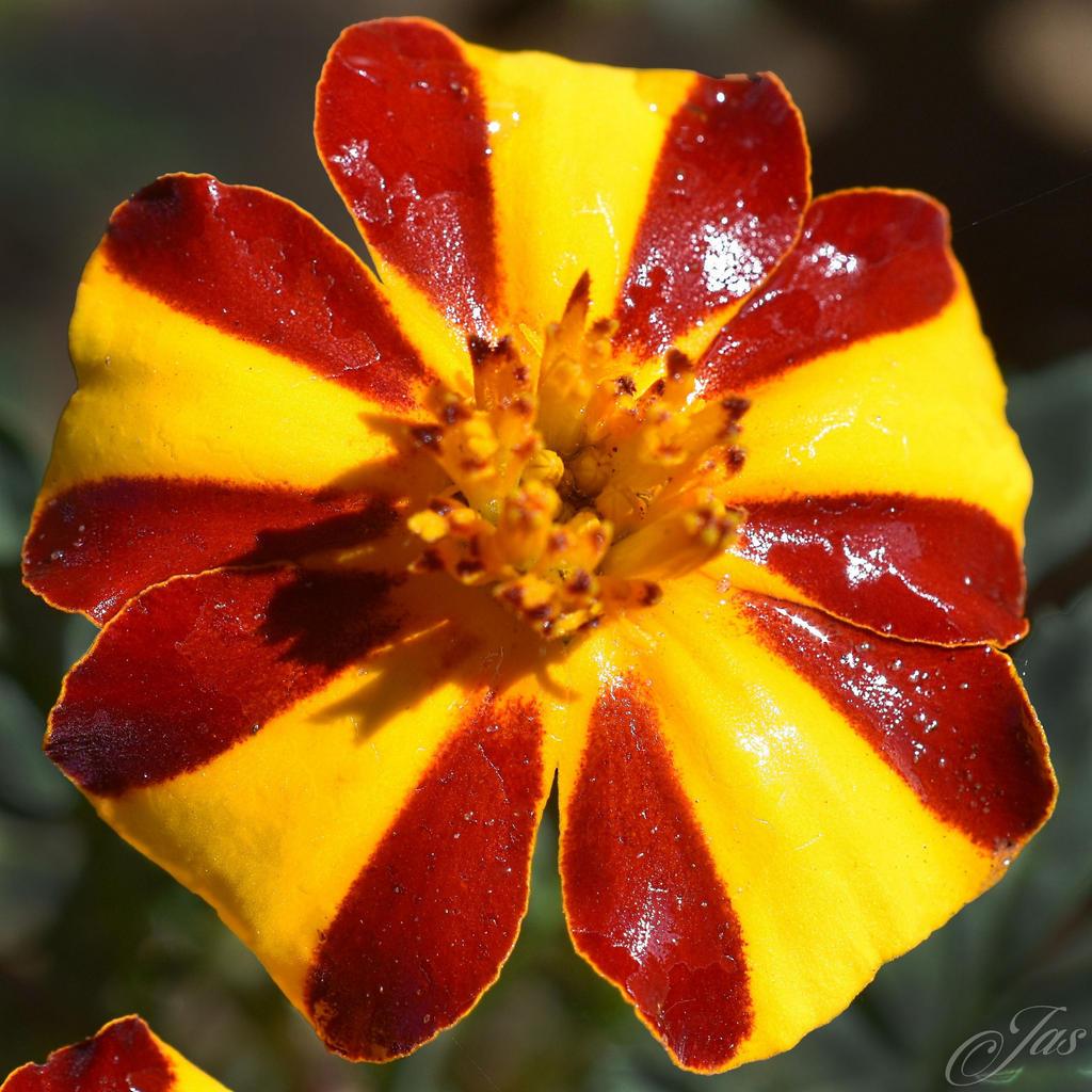 My Flower Marigold  Mr. Majestic