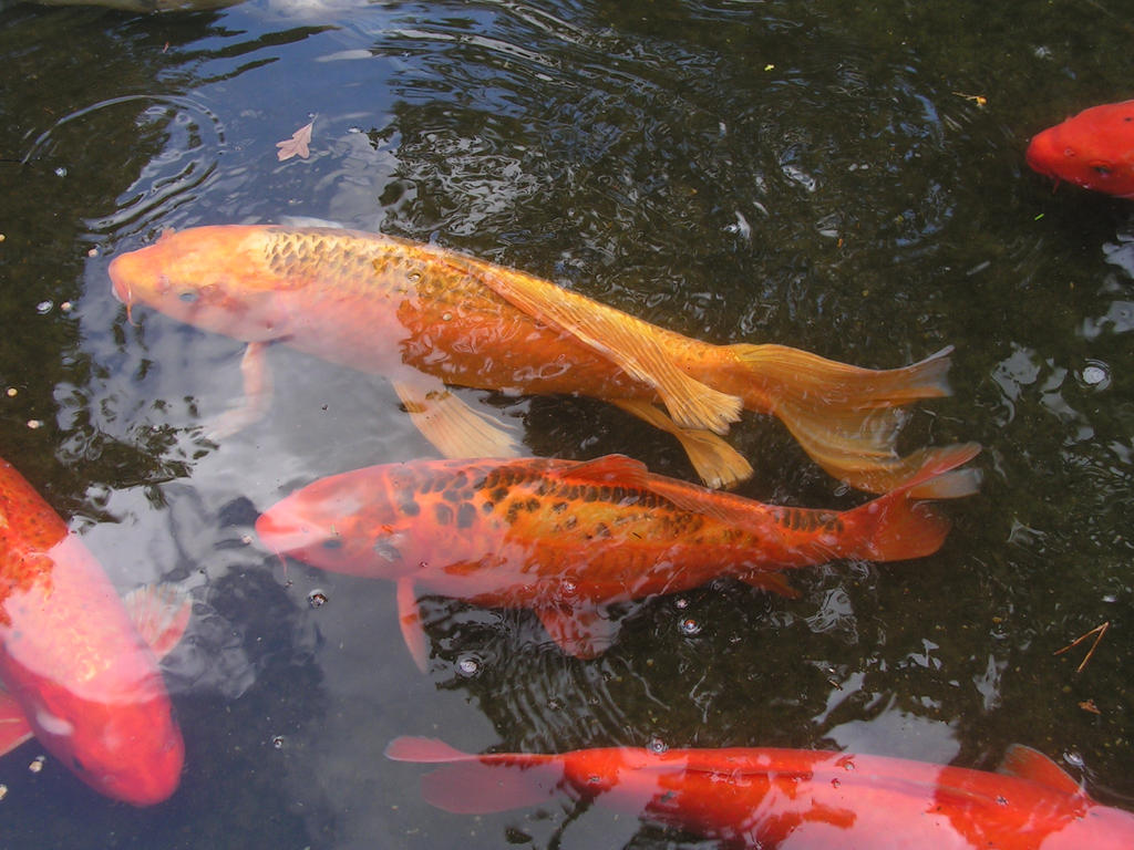 Colorful koi fish by rapid star on deviantart for Colourful koi fish