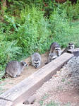 Raccoons  (then there were five)