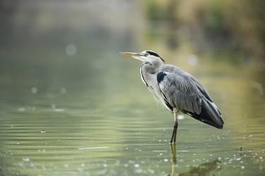 Gray heron nostalgic thoughts