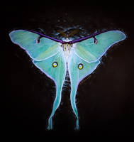 Luna moth by agree-to-dissagree