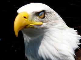 veiny eyed eagle by teenyb