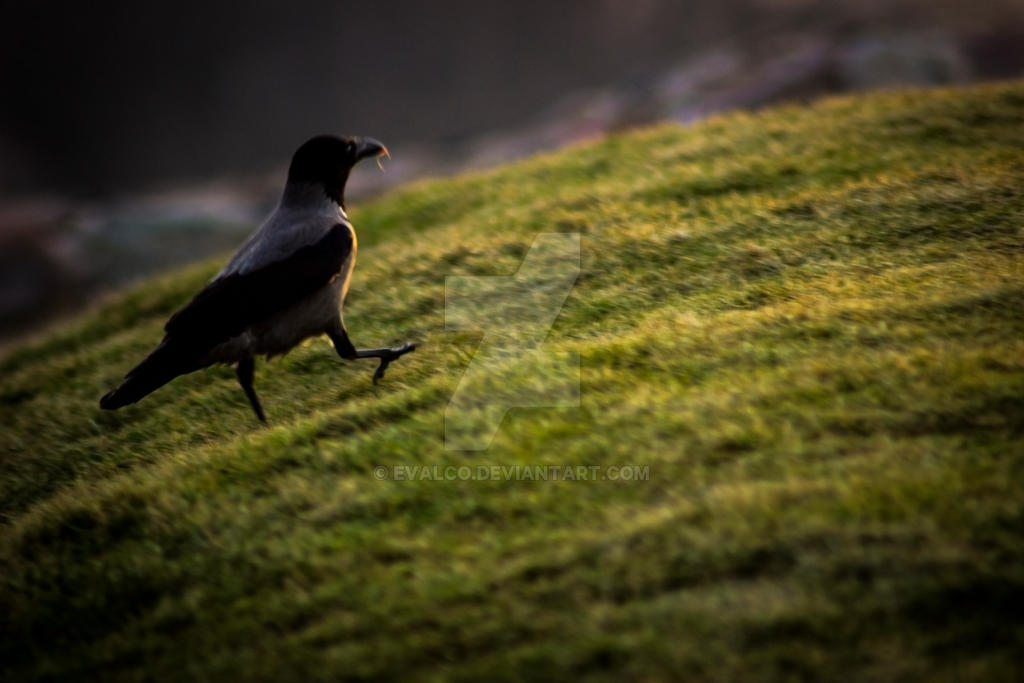 raven (Corvus corax) by EvalCo