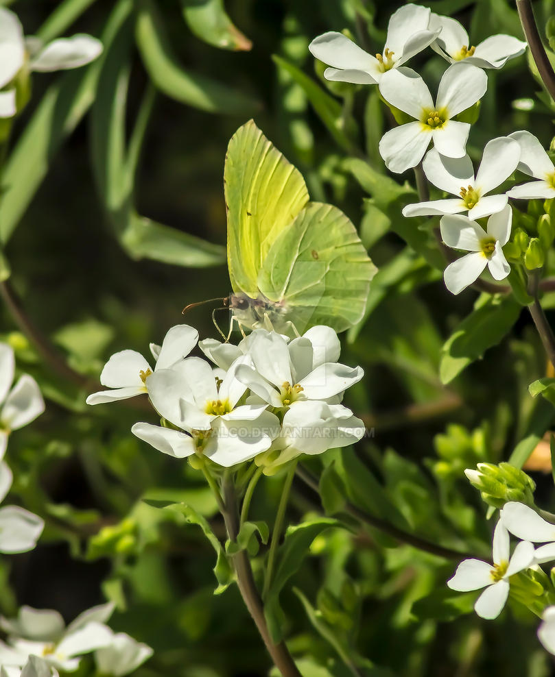 brimstone butterfly by EvalCo