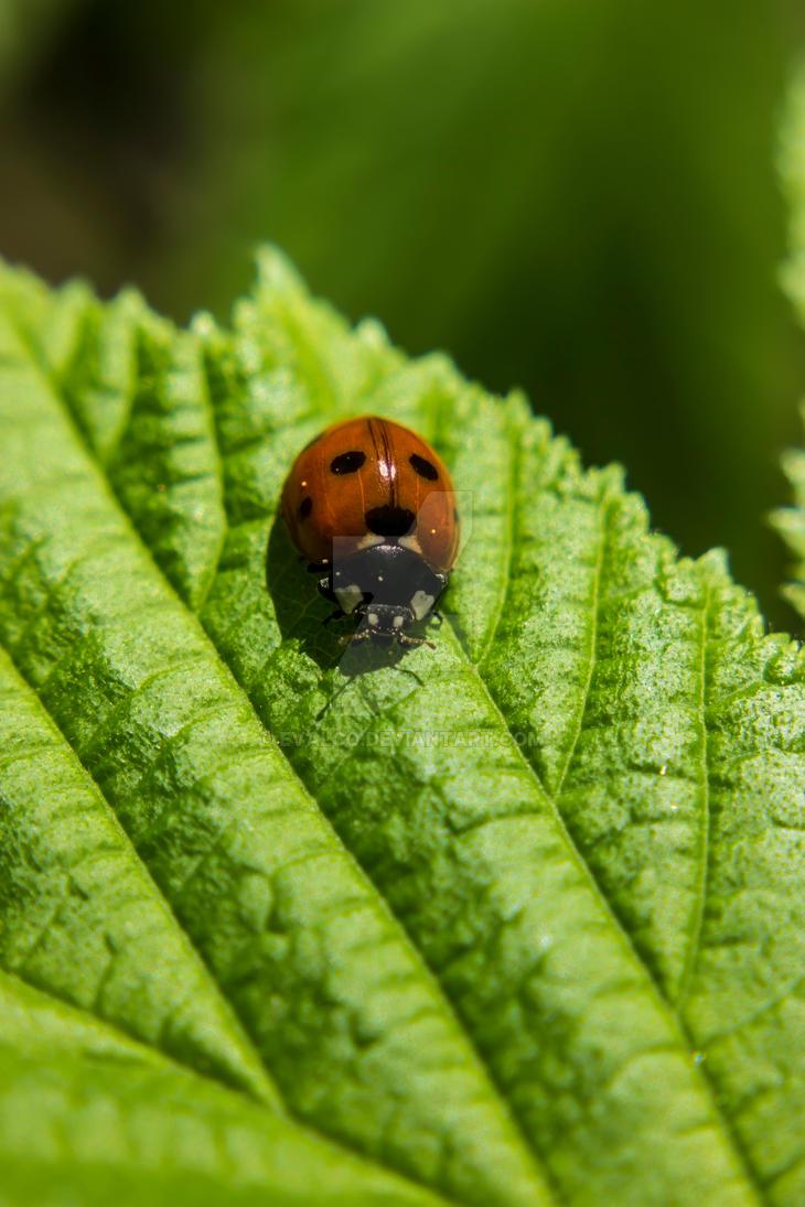 ladybug by EvalCo