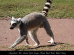Ring Tailed Lemur Stock 1