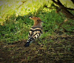 Yet another hoopoe pic