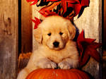 Sweet Puppy On Pumking HD Wallpaper-Vvallpaper