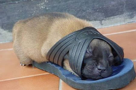 Cute-funny-puppy-sleeping-in-slipper-shoe-1