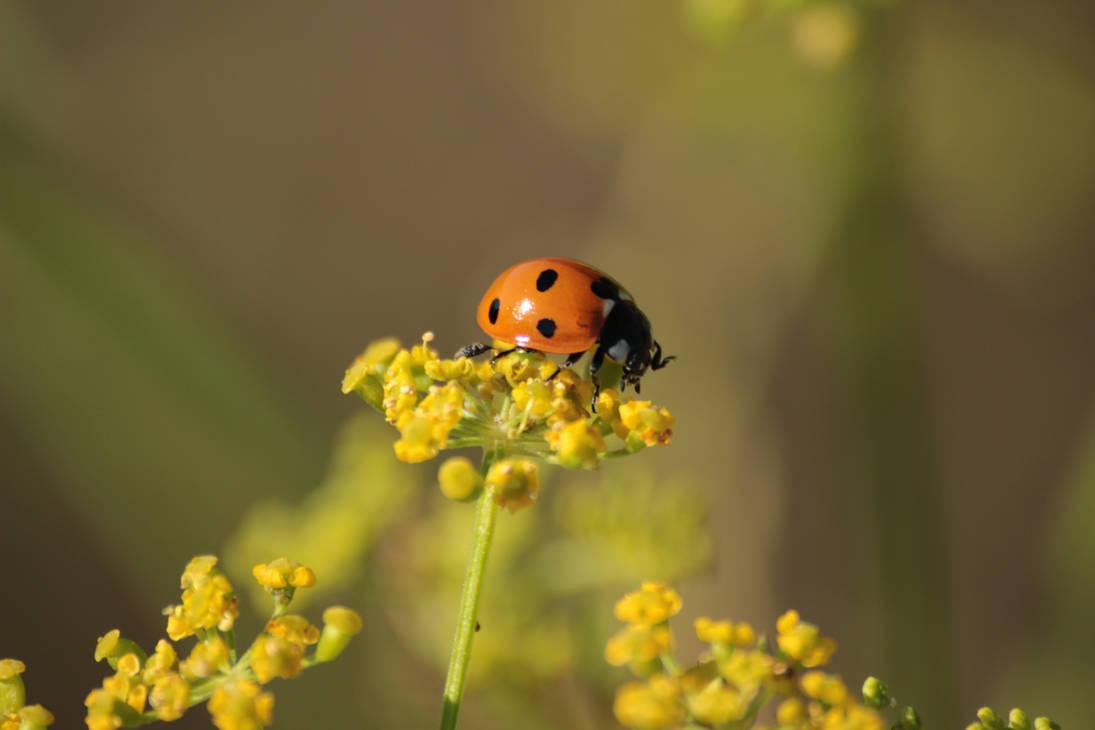 Ladybug 2 by wuestenbrand