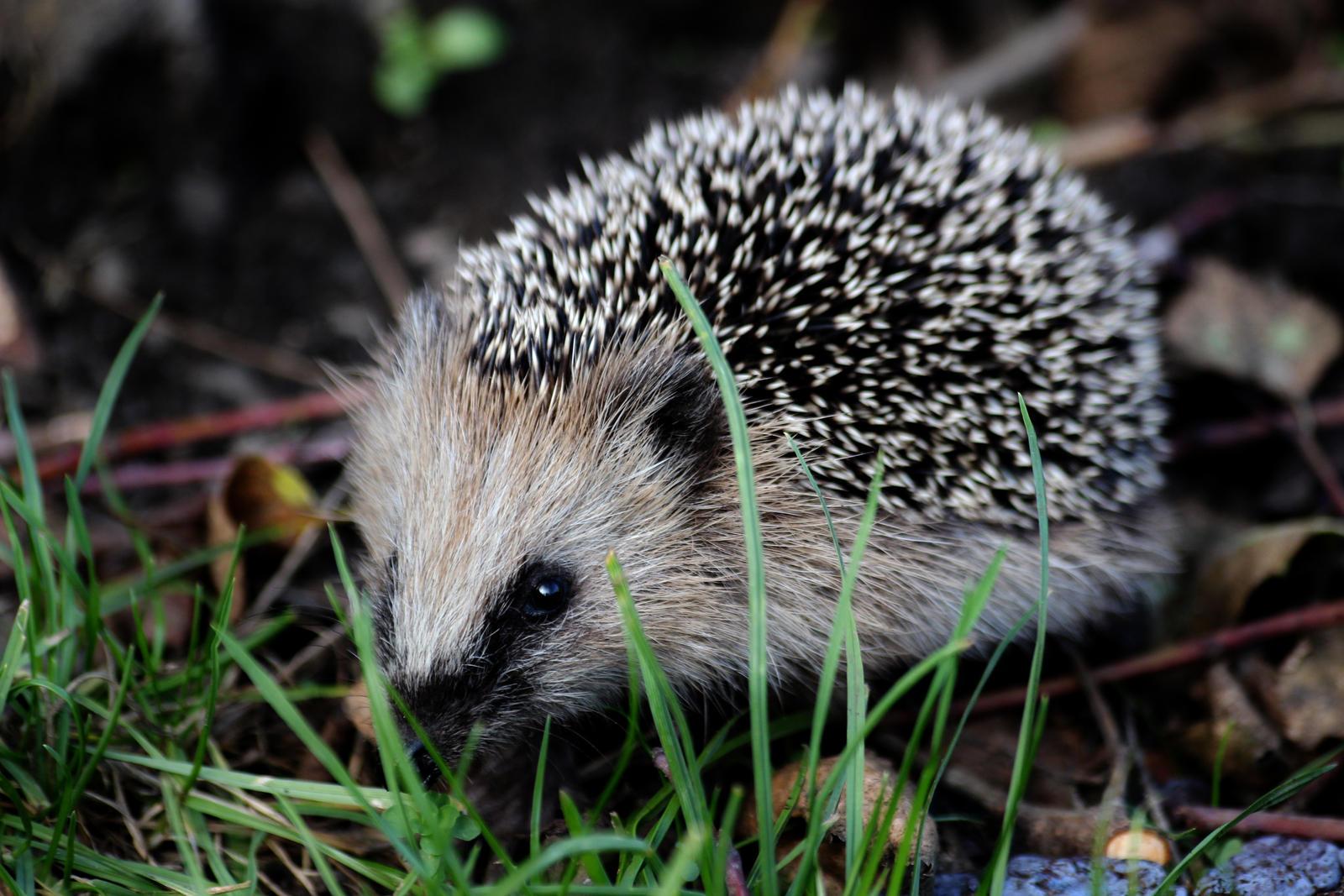 Hedgehog by wuestenbrand