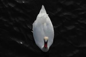 Swan 1 by wuestenbrand