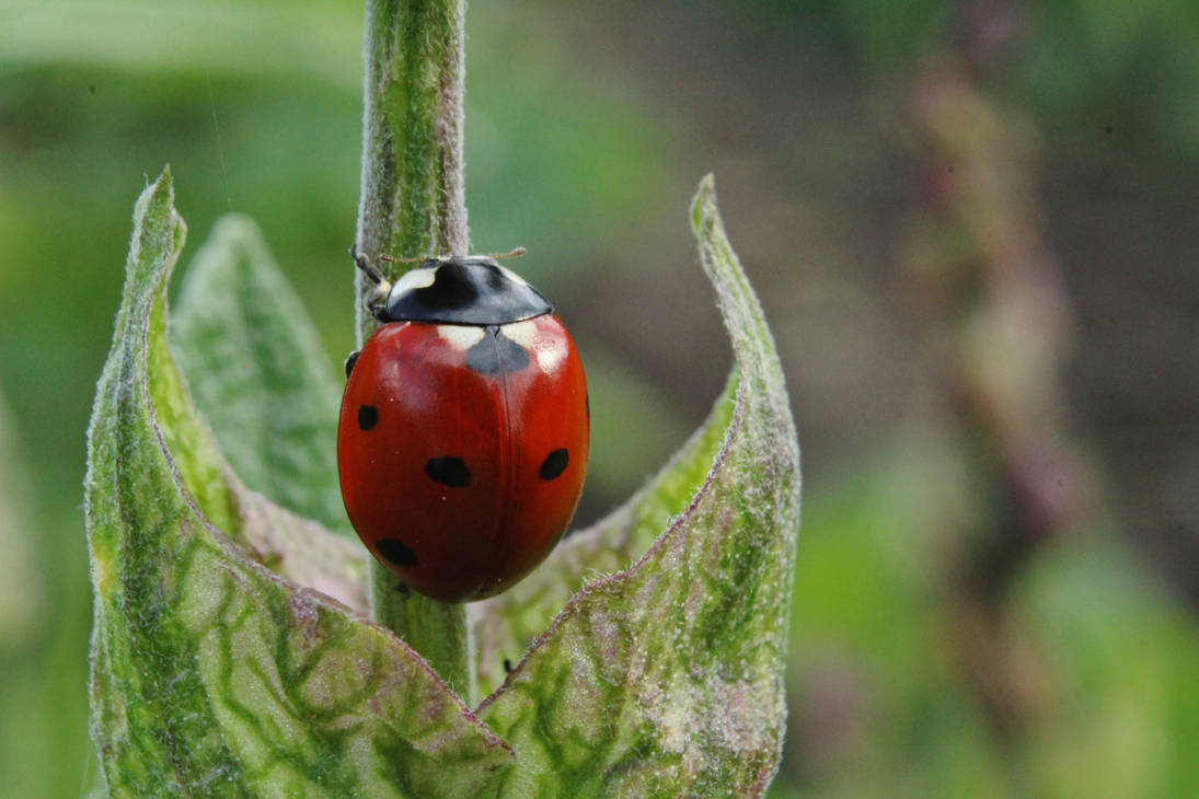 Ladybug 3 by wuestenbrand