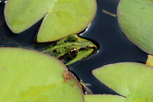 Water Frog by wuestenbrand