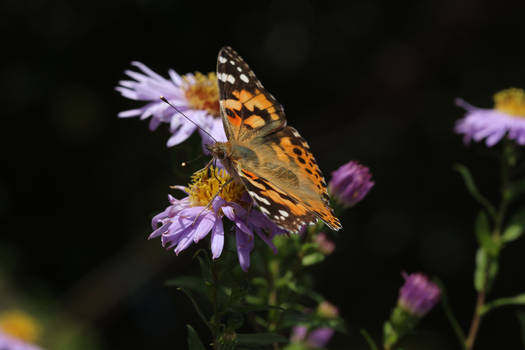Butterfly 6 - Painted Lady