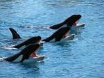 Wild animal stock 77 - orcas by Momotte2stocks