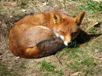 Wild animal 126 -sweet red fox by Momotte2stocks