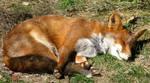 Wild animal 134 - sleeping fox by Momotte2stocks