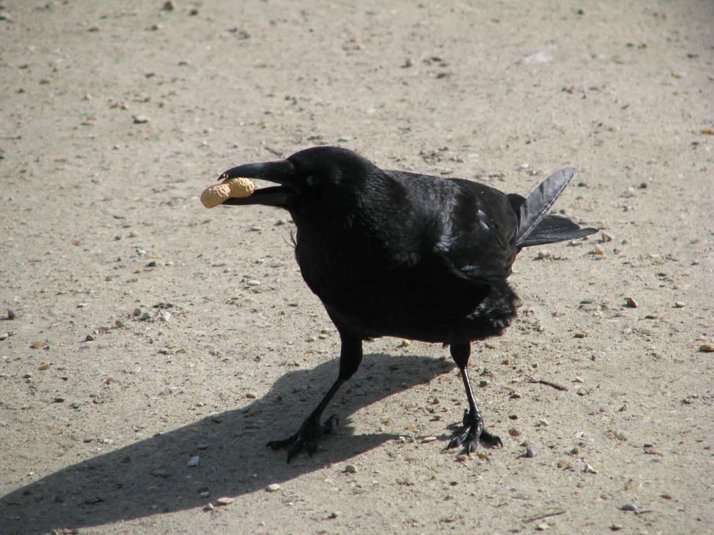 Bird 166 Funny Crow By Momotte2stocks On Deviantart