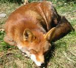 Wild animal 148 - sleeping foxie by Momotte2stocks