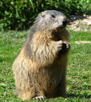 Marmot 45 - marmot prey by Momotte2stocks