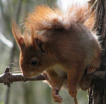 Wild animal 189 -cute squirrel by Momotte2stocks