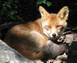 Wild animal 192 - cutest red fox by Momotte2stocks