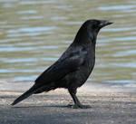 Bird 217 - nice crow by Momotte2stocks