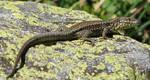 Wild animal 246 - mountains lizard by Momotte2stocks